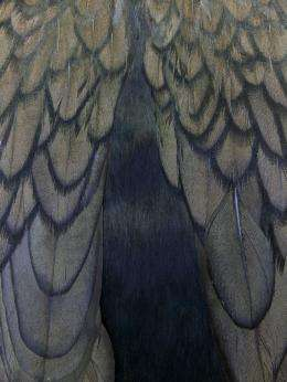 Researchers discover how feathers get their shine, inspire ideas for creating gloss